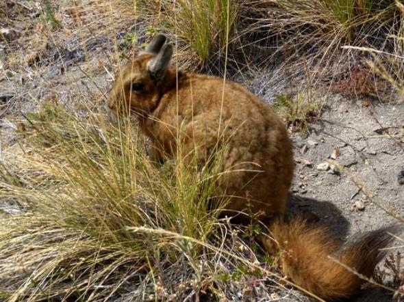 Vizcacha Austral