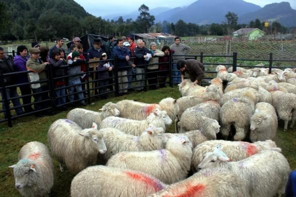 Exitoso cierre de programa ganadero ovino convenio Indap-Inia.