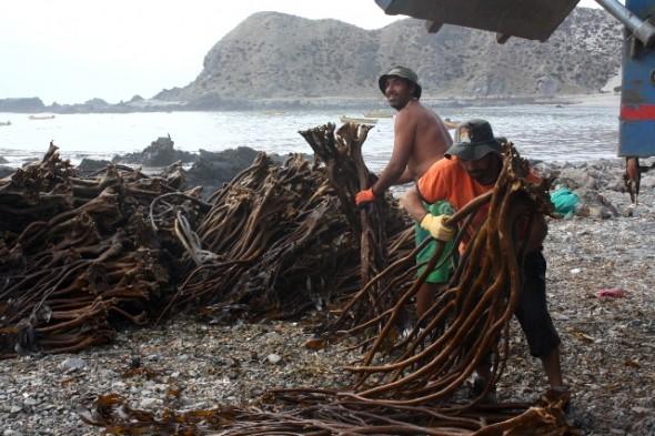 Subpesca ingresó al Congreso proyecto de ley que busca  promover el repoblamiento y cultivo de algas