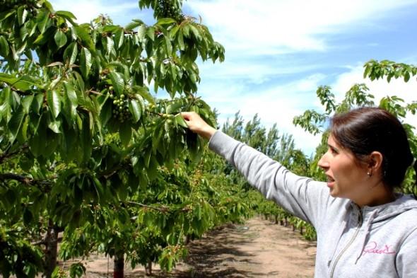 Manejo integrado de plagas, innovador sistema utilizado por INIA para reducir la polilla de la manzana y otras plagas en Chile Chico.