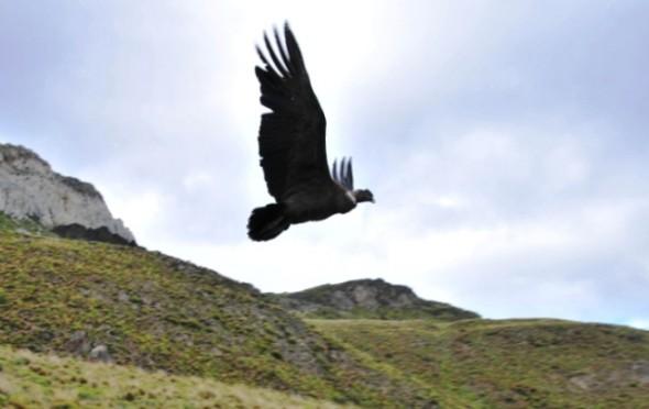 Condor en vuelo