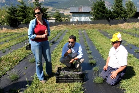 Coyhaiquina se atrevió a cultivar lavanda con el fin de elaborar aceites esenciales