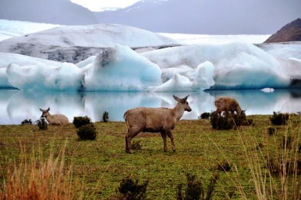Huemul Aysen glaciar Nota