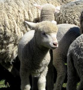 Lanares ovejas ovino