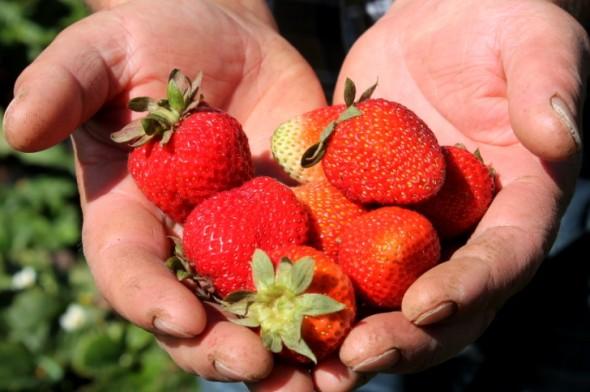 frutillas agro