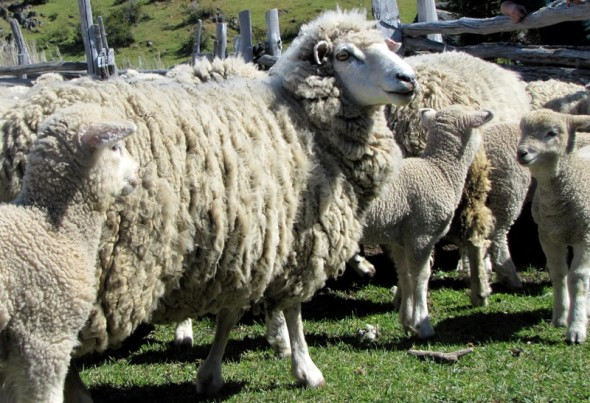 lanares ovinos ovejas