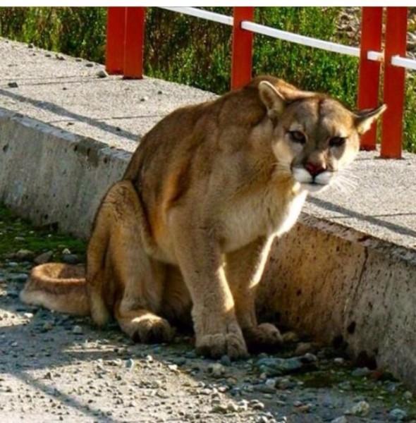 Puma -  foto de Nicole Vernal Diaz
