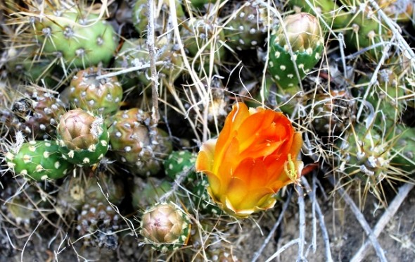 cactus maihuenopsis darwinii Nota