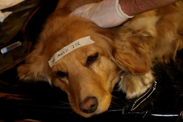 Esterilización de perros y perras.